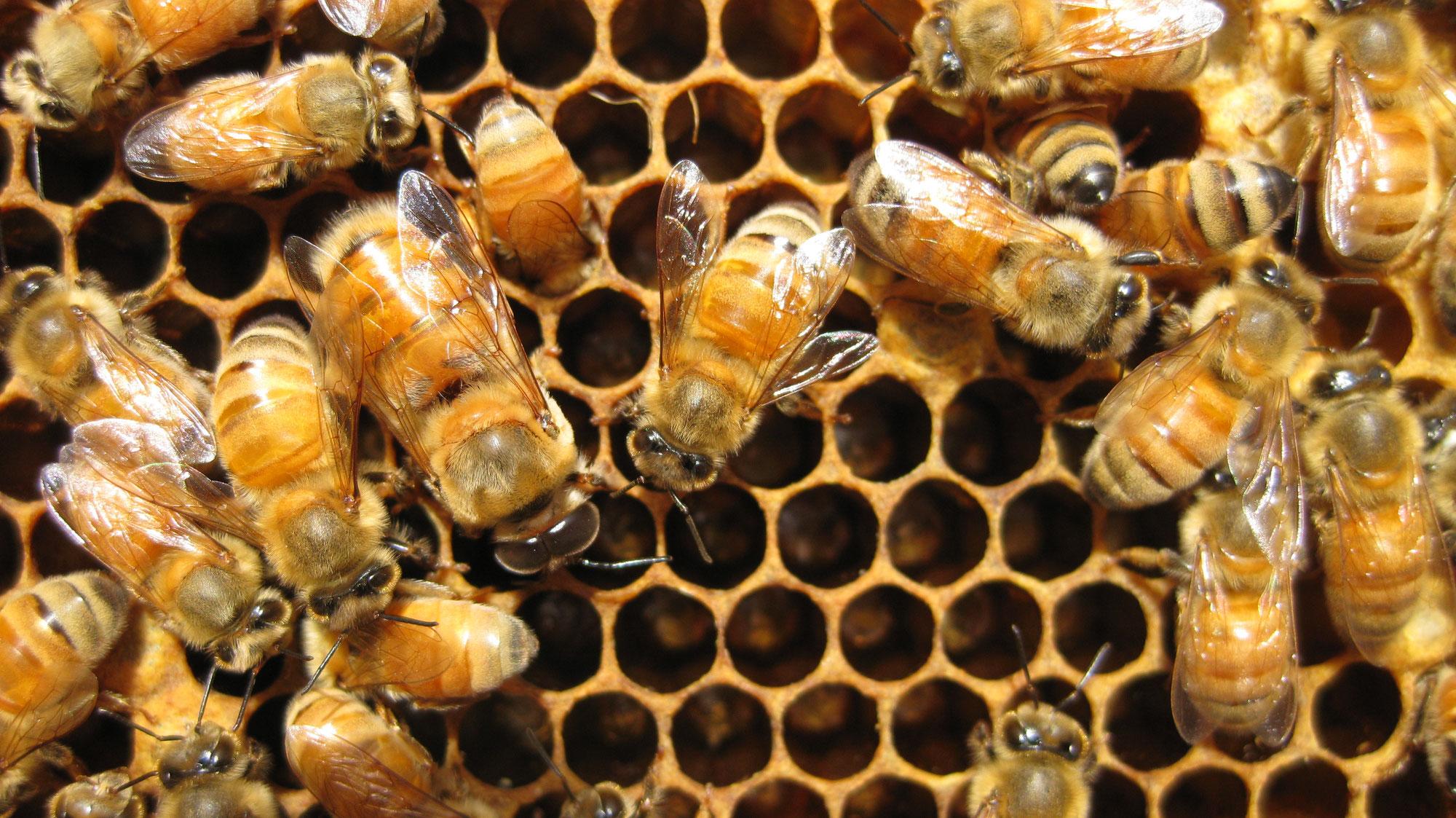 種蜂の出荷状況