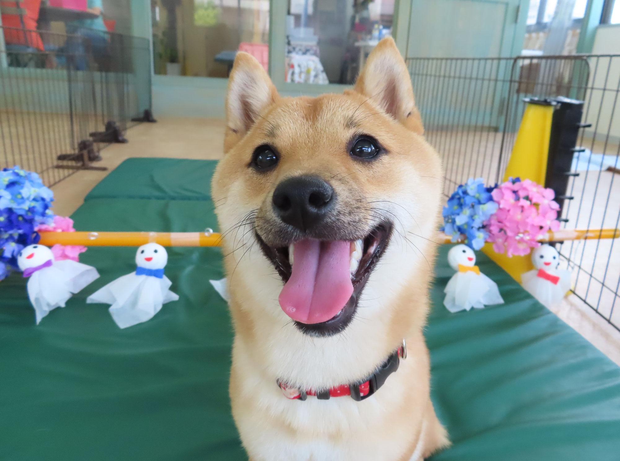 幼稚園体験にきてくれた豆柴の【こはるちゃん】 犬のしつけ教室@アロハドギー