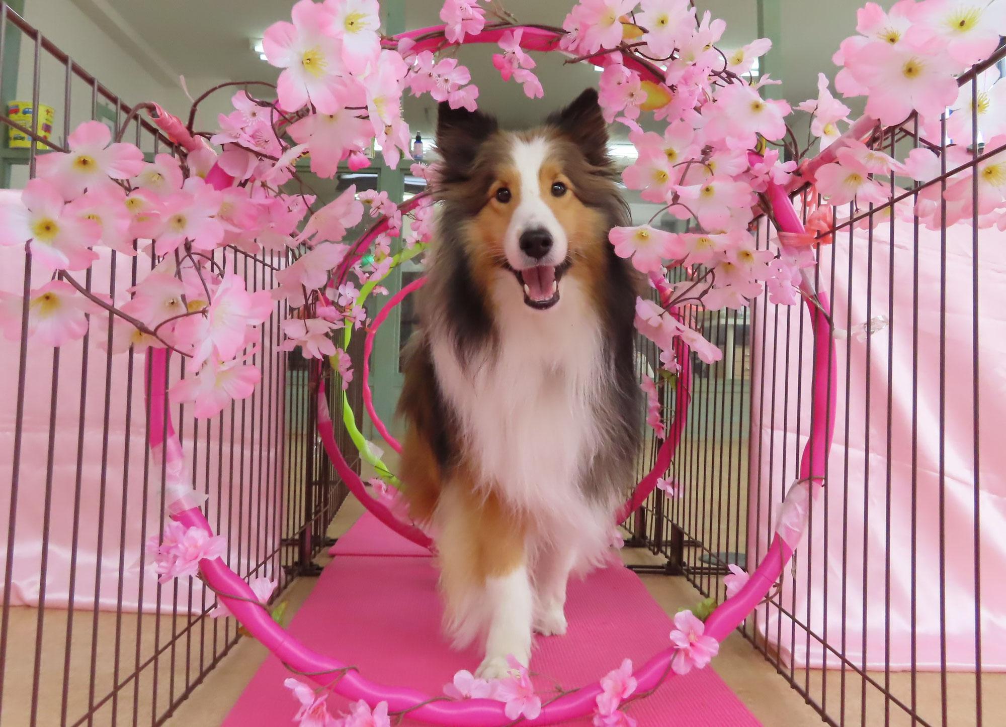 3/27(土)は【わんこ整体day】  犬のしつけ教室@アロハドギー