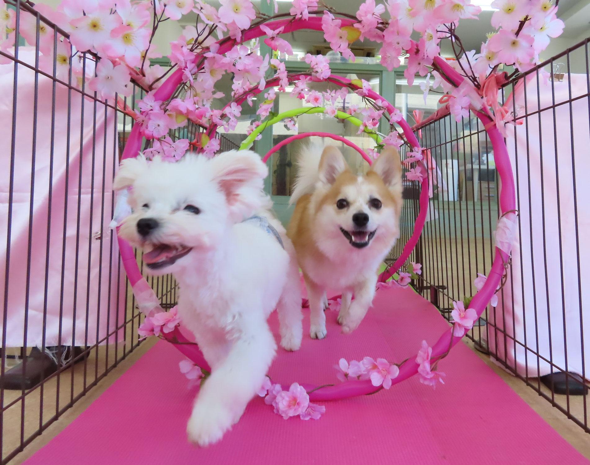 愛犬と一緒にお花見に行こう🌸  犬のしつけ教室@アロハドギー