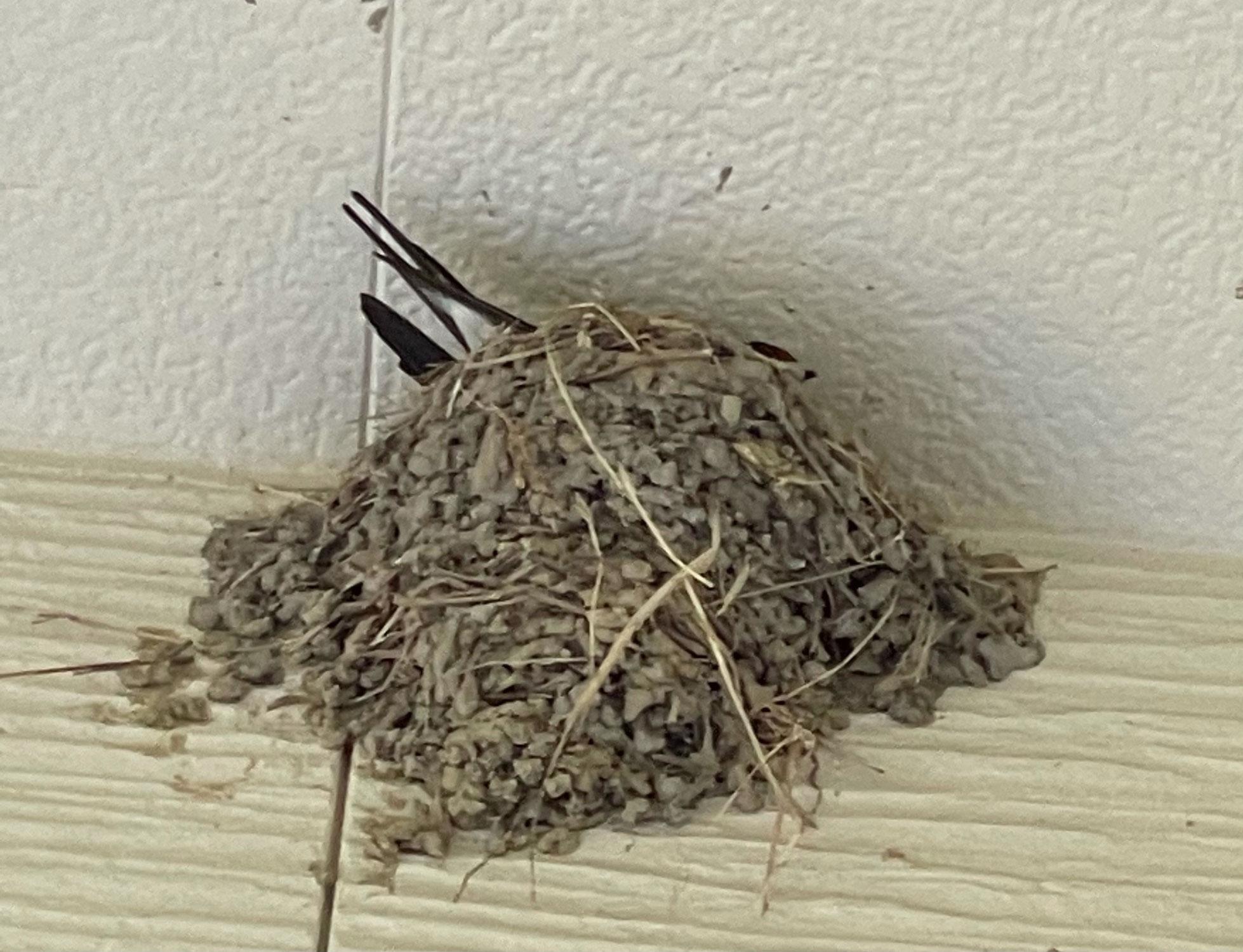 ツバメの巣( *´艸`)パート2