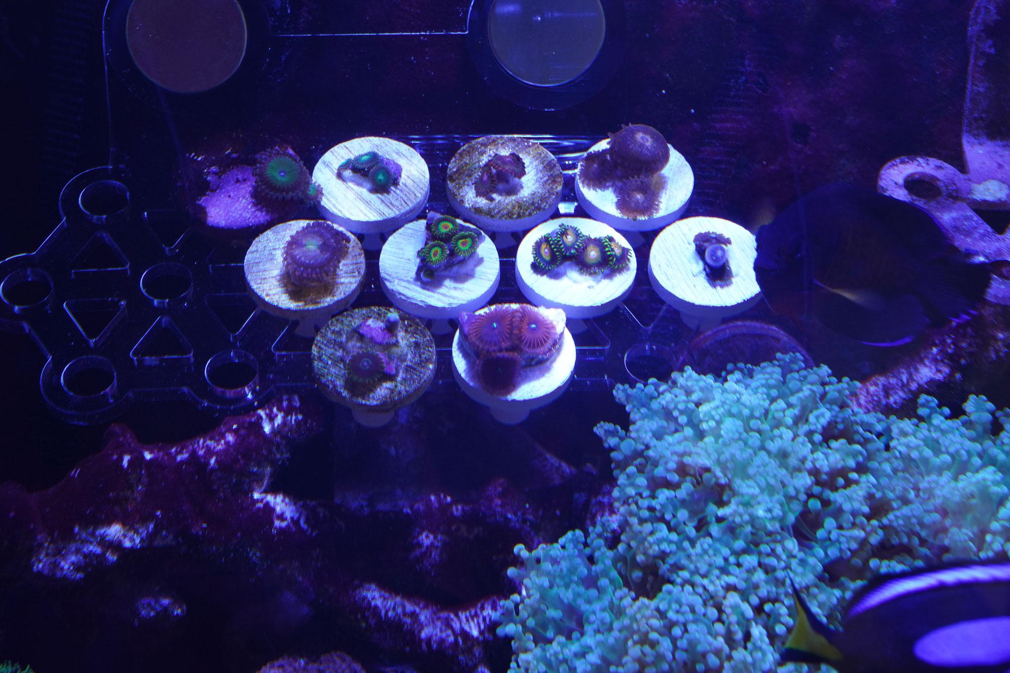 ひーくん様サンゴ追加