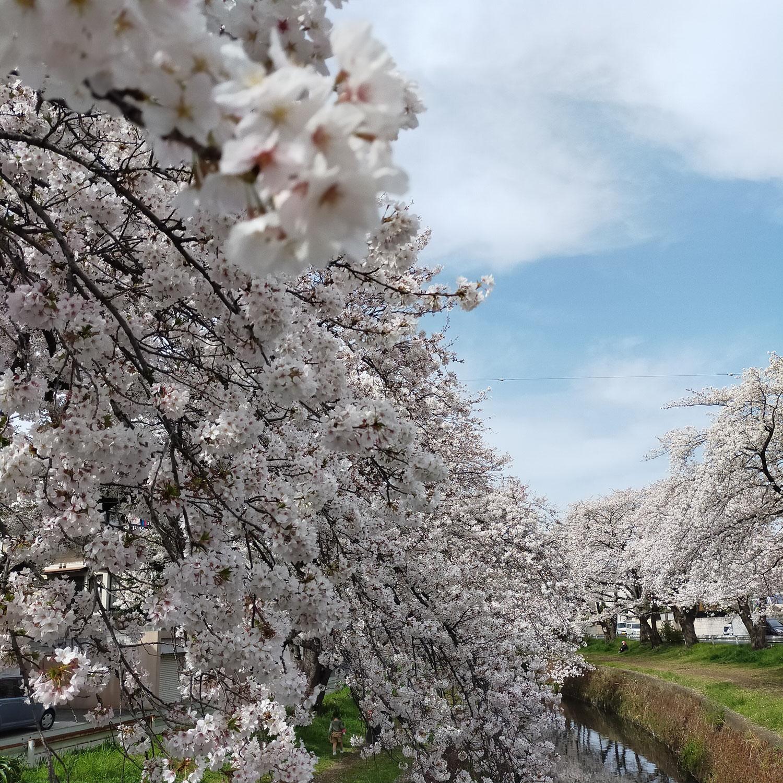 桜ヶ丘の千本桜を観に散策してきました