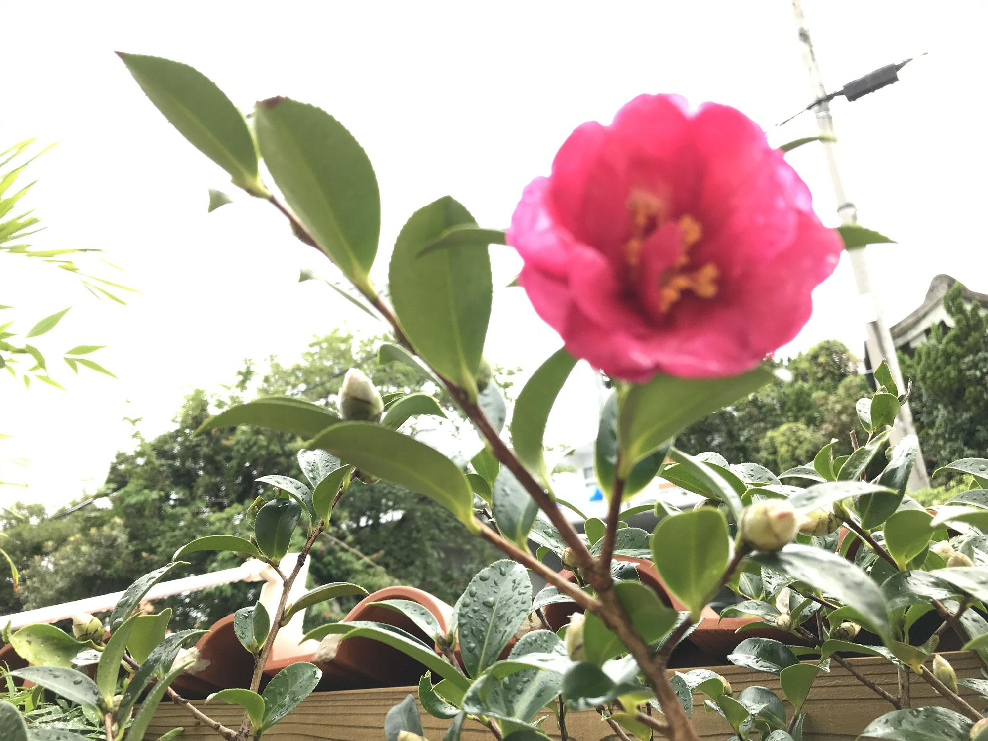 記念樹に山茶花の木