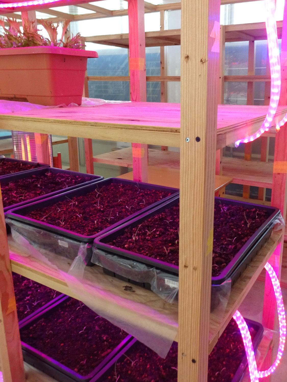 教室ですくすく育つ野菜たち