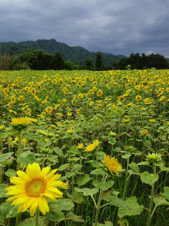 大倉の秘密のひまわり畑