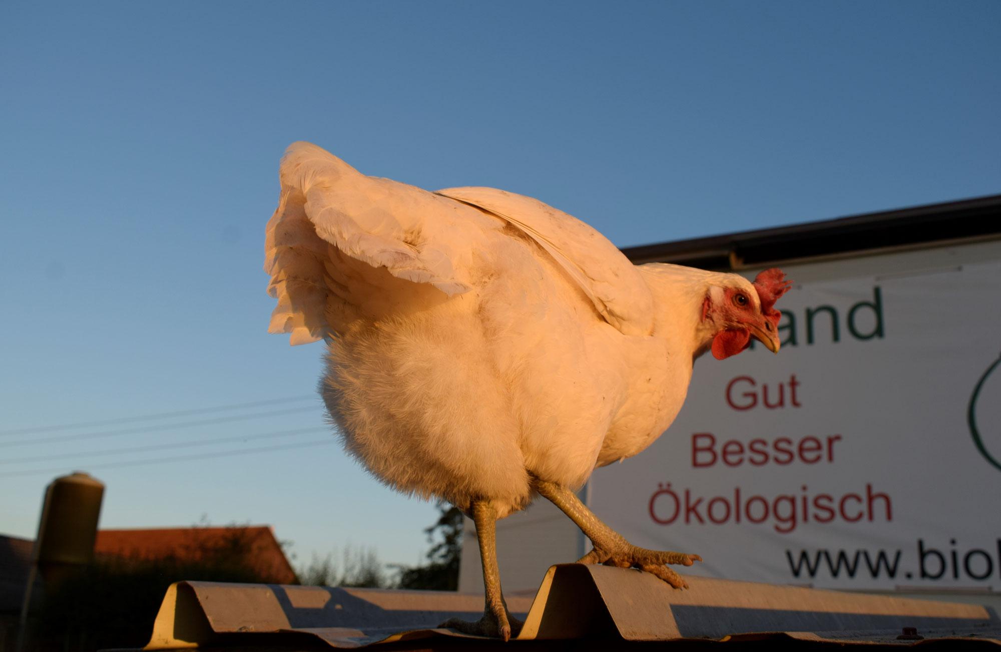 Neue Hühner braucht die ökologische Landwirtschaft