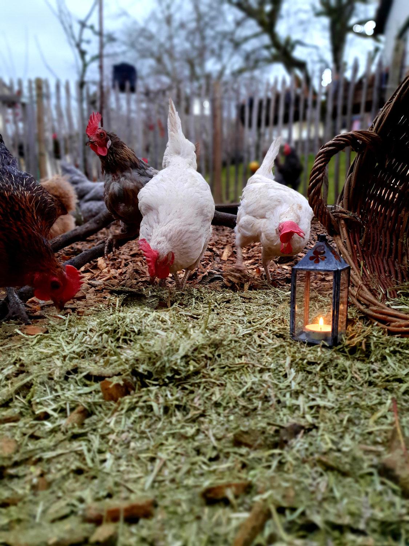 HühnerWEIHNACHTSgeschichte