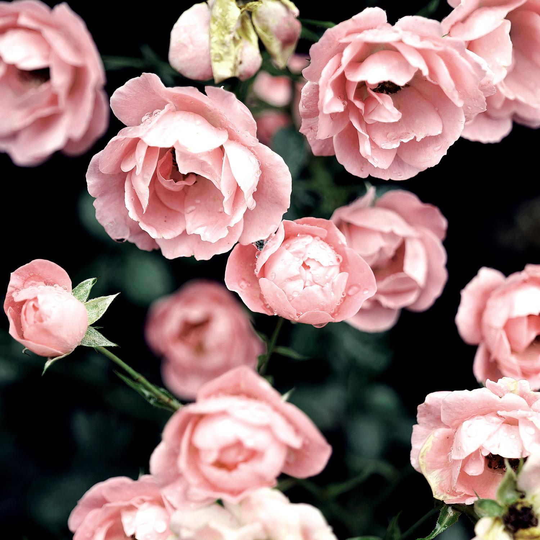 Die Rose als Heilpflanze