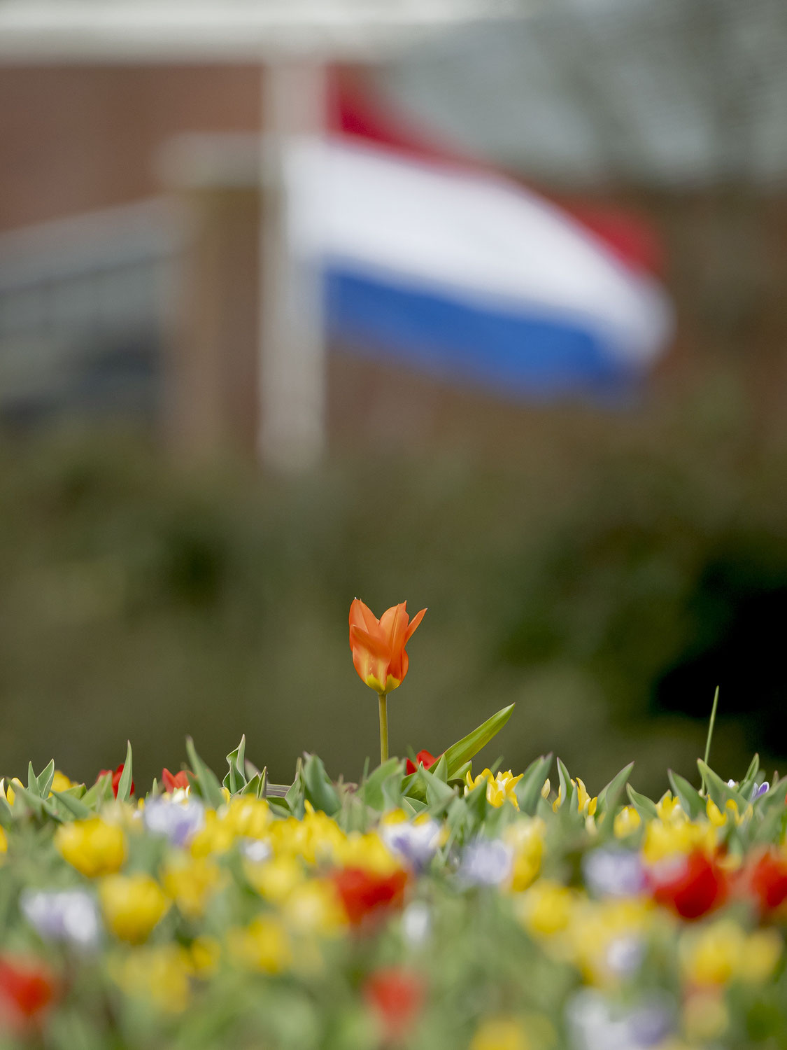Keukenhof 2021 opens on an experimental basis over the weekend: how to enter