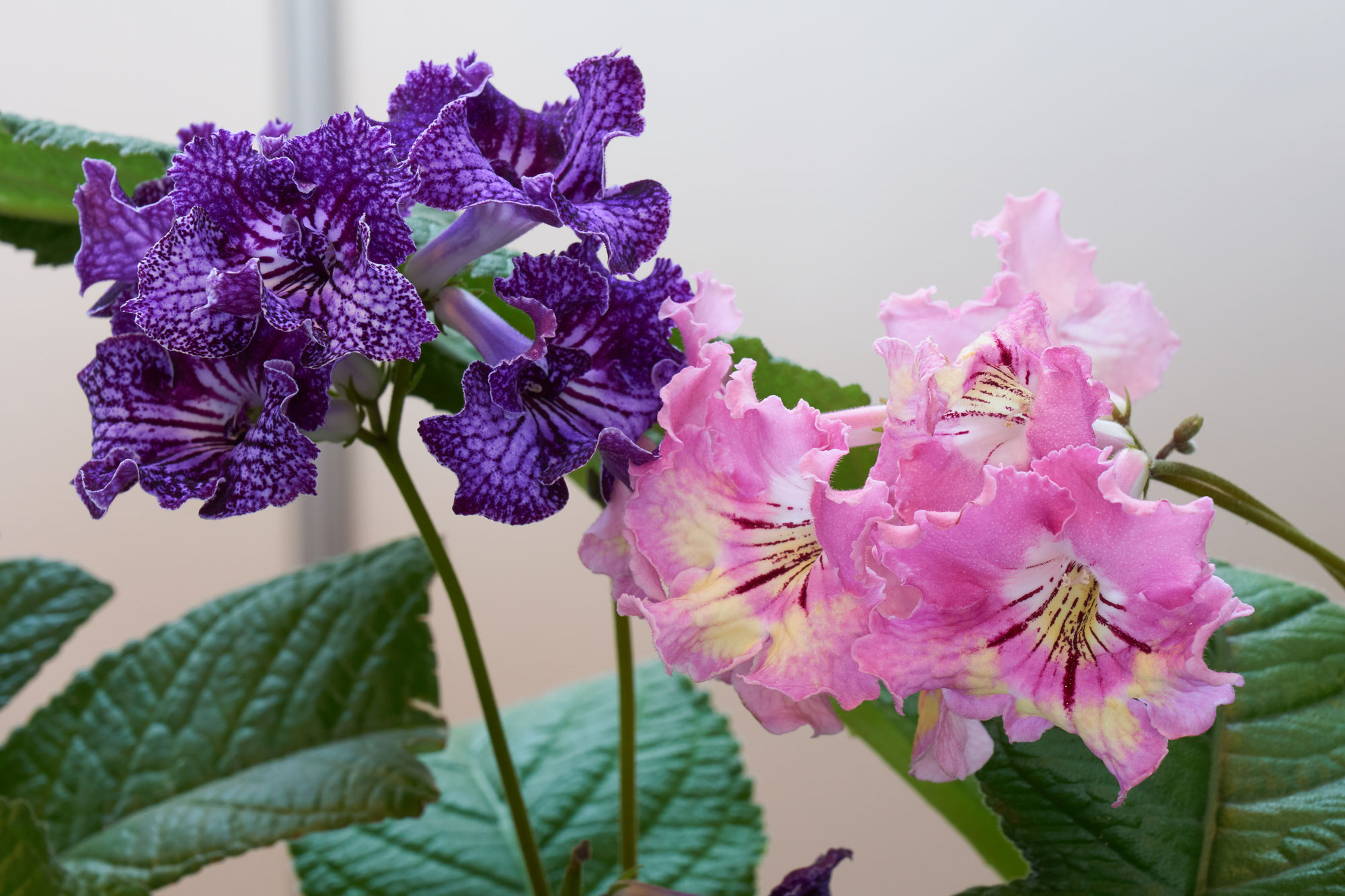 Streptocarpus: characteristics, care and curiosities