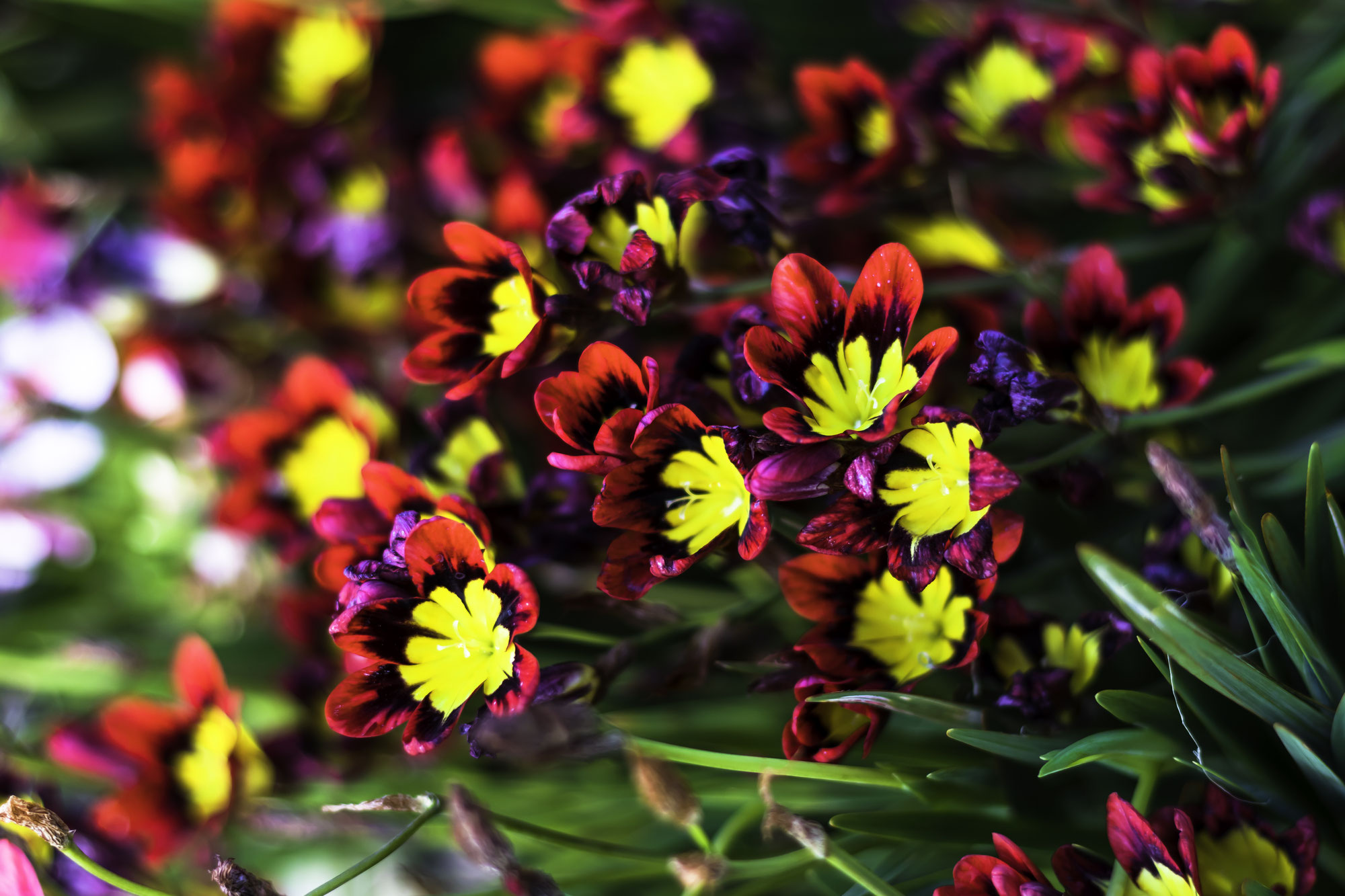Sparaxis:the harlequin flowers