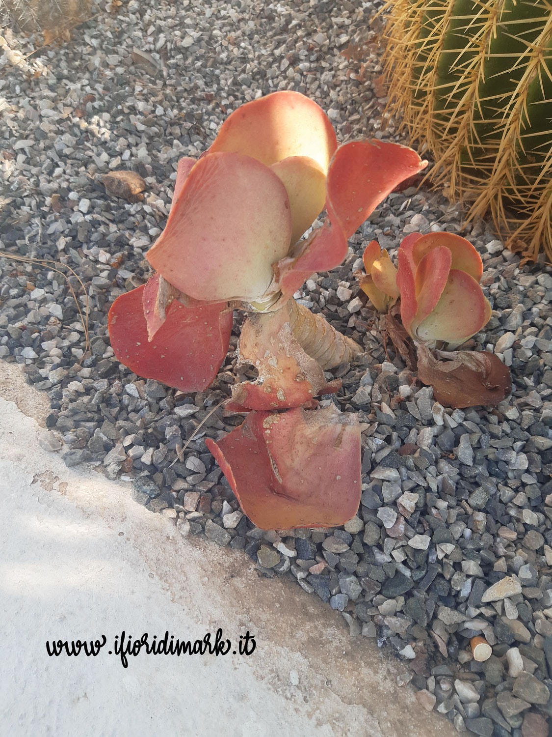 Kalanchoe tetraphylla: the plant of good wishes and a new beginning