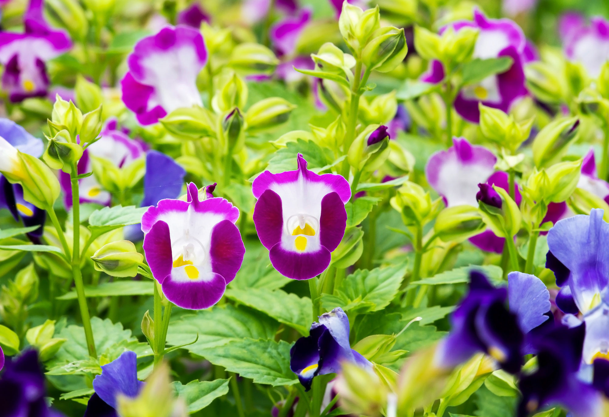 Torenia fournieri: the colorful flowers with long flowering