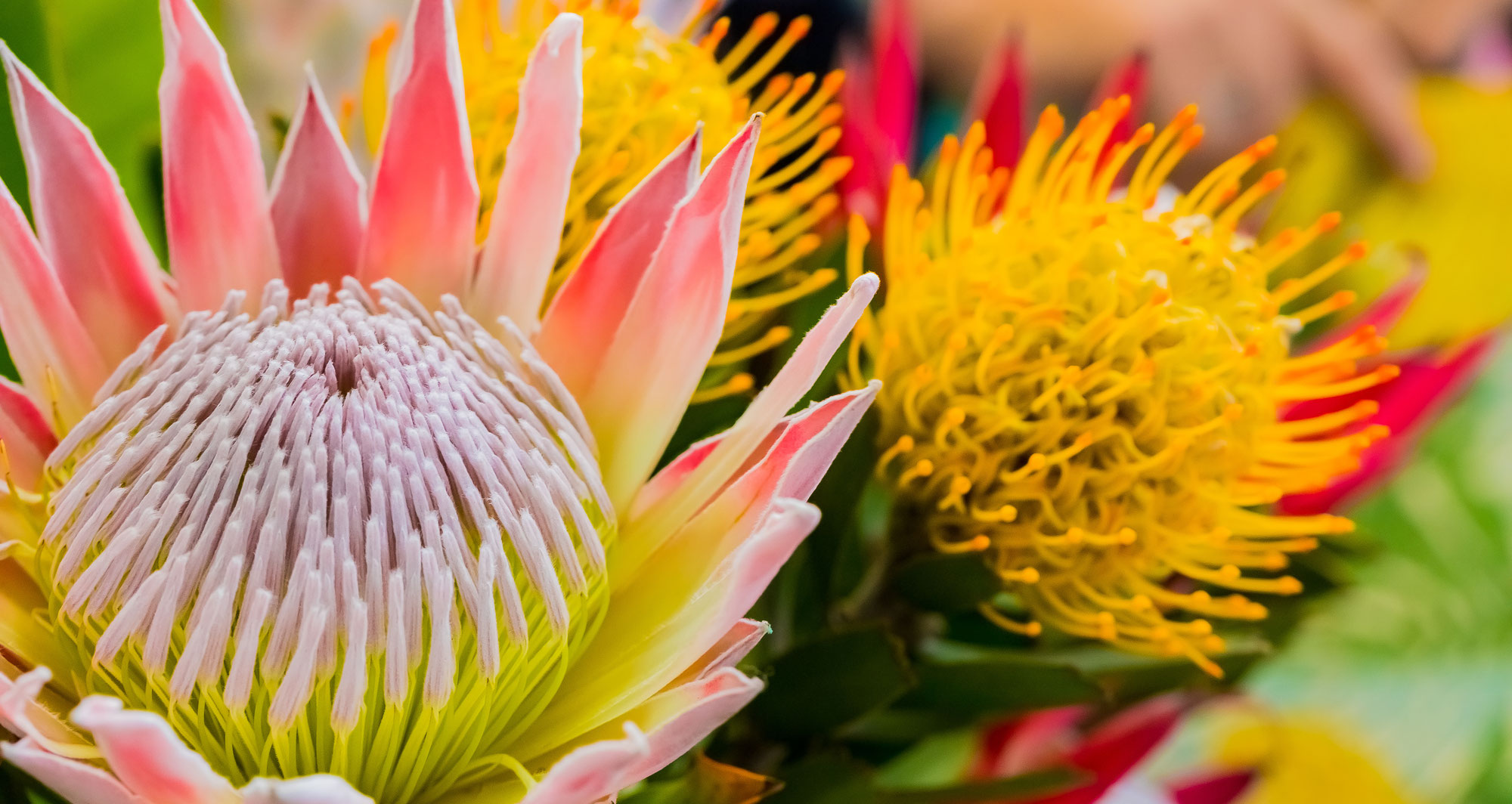 Protea Cynaroides: the symbolic flower of South Africa