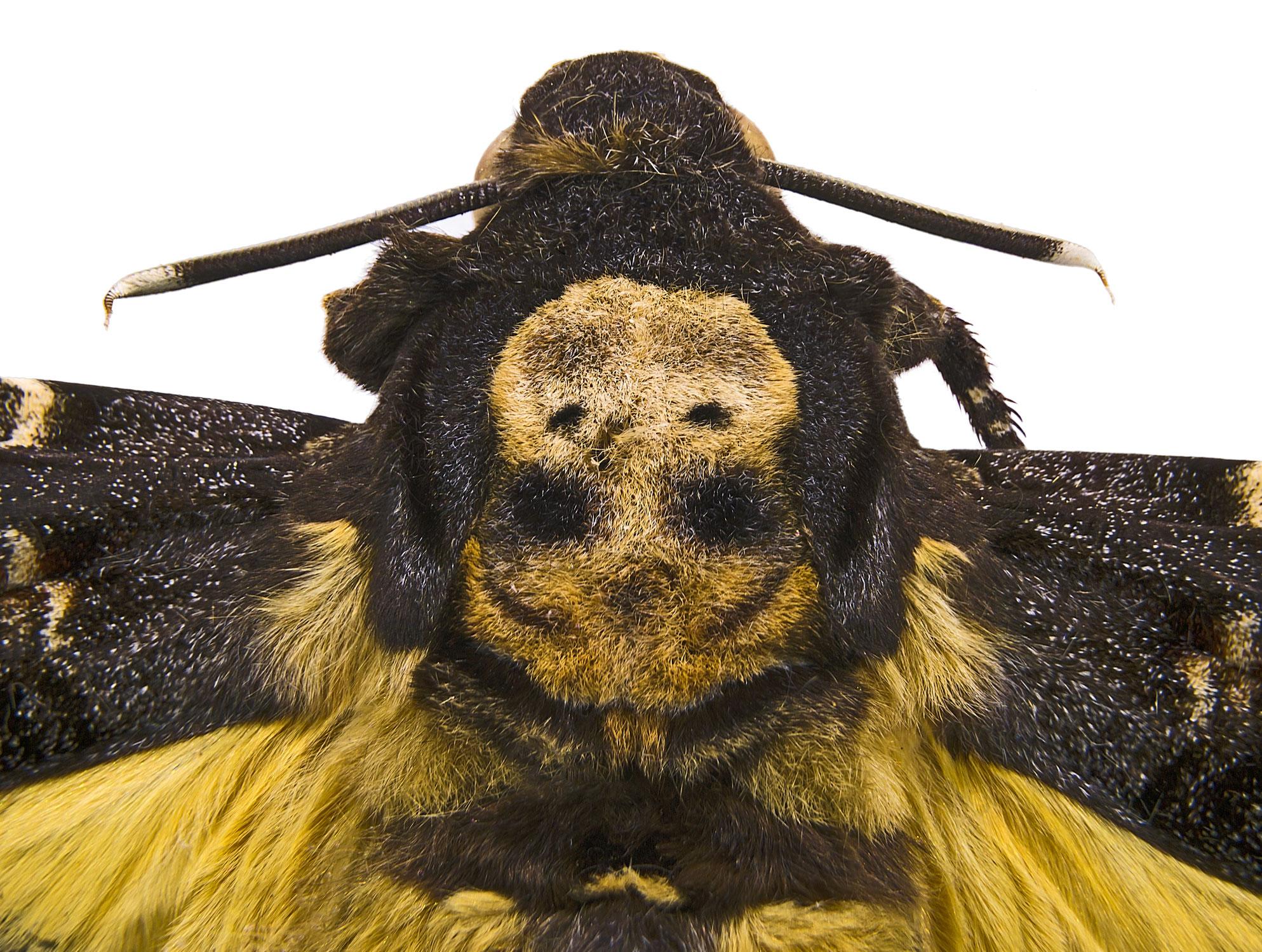 Schöne Honigräuber-die Totenkopfschwärmer