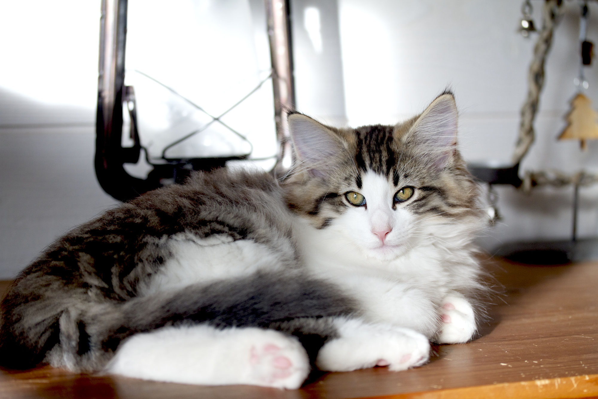 Conditions d'adoption - Elevage de chat Norvégien, chatons ...
