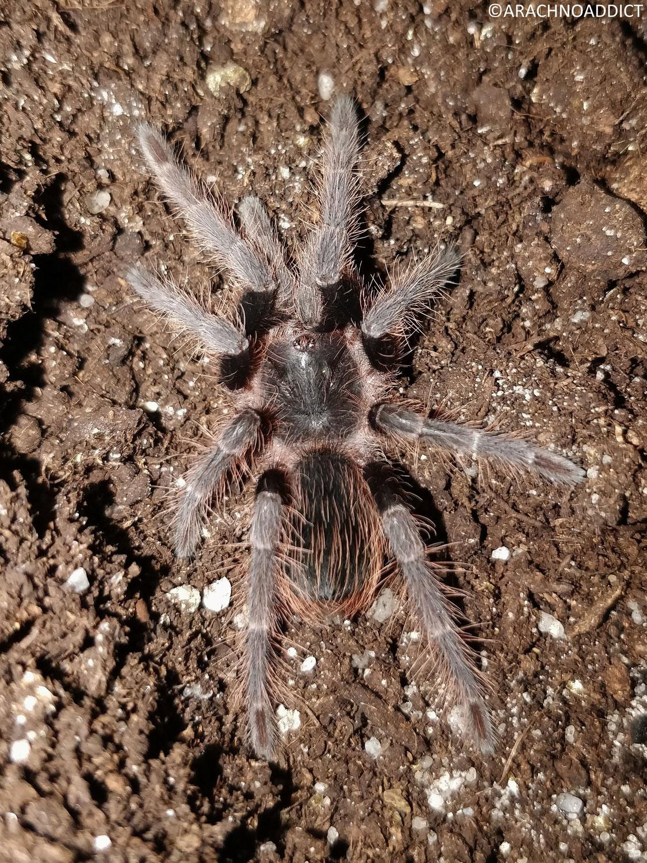 erneute Häutung der unbekannten Spinne