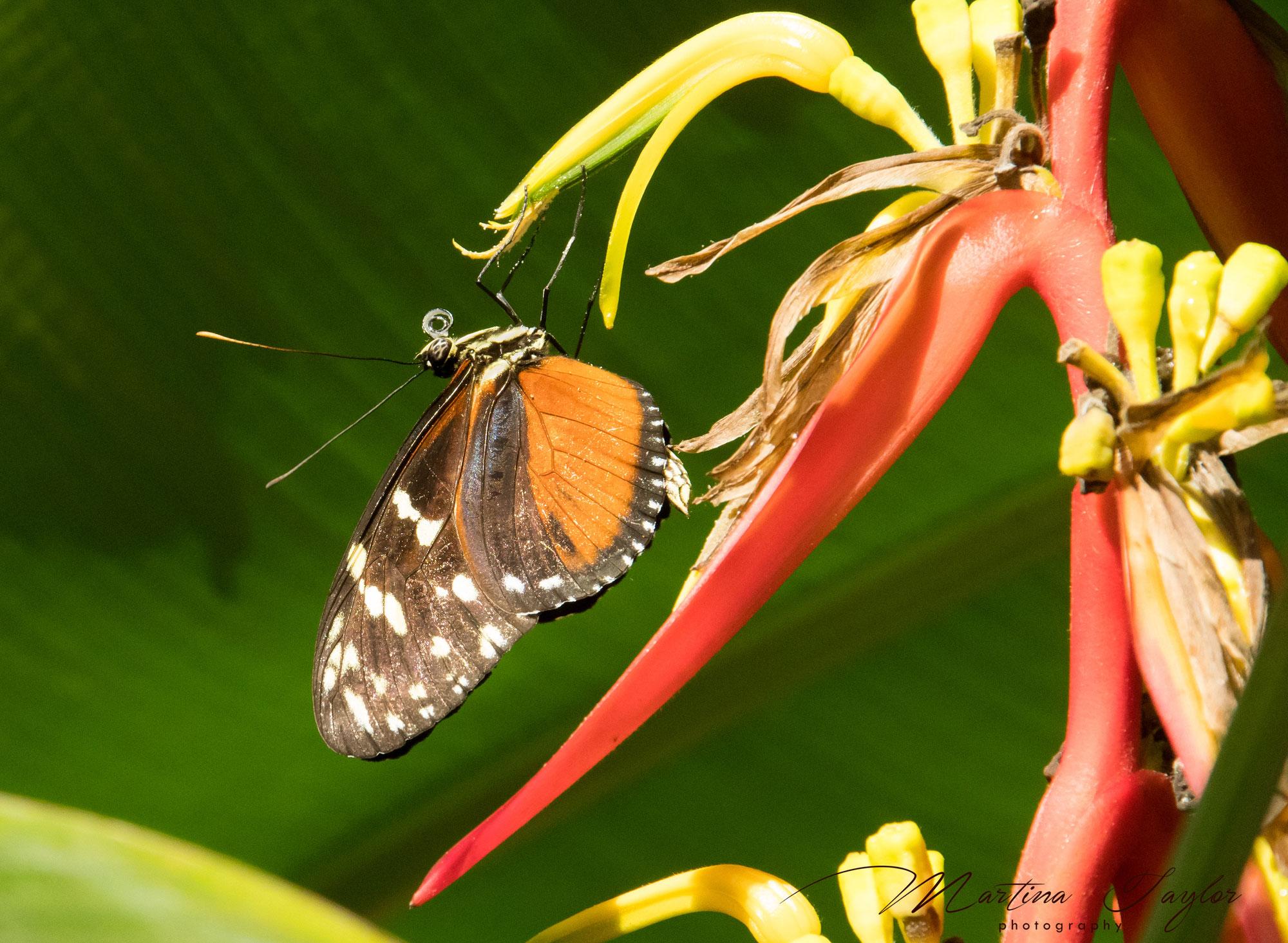 Schmetterlingshaus Palmengarten I