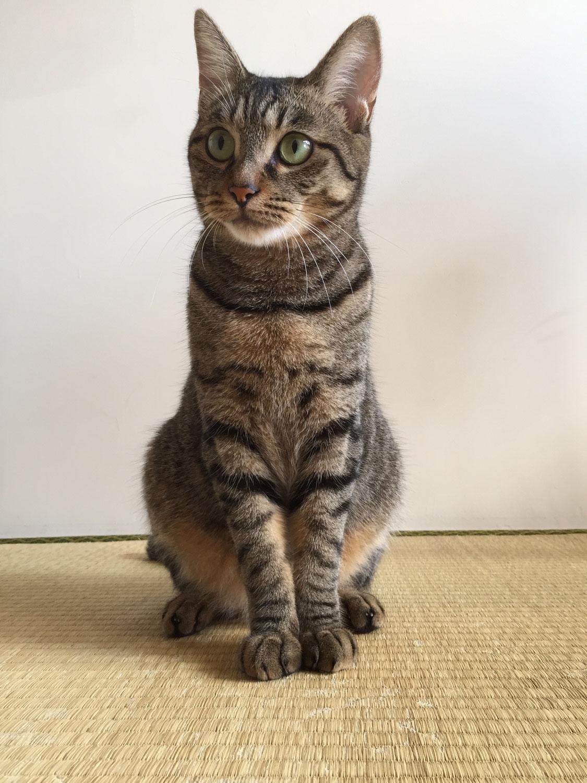 あめ/日本猫キジトラ
