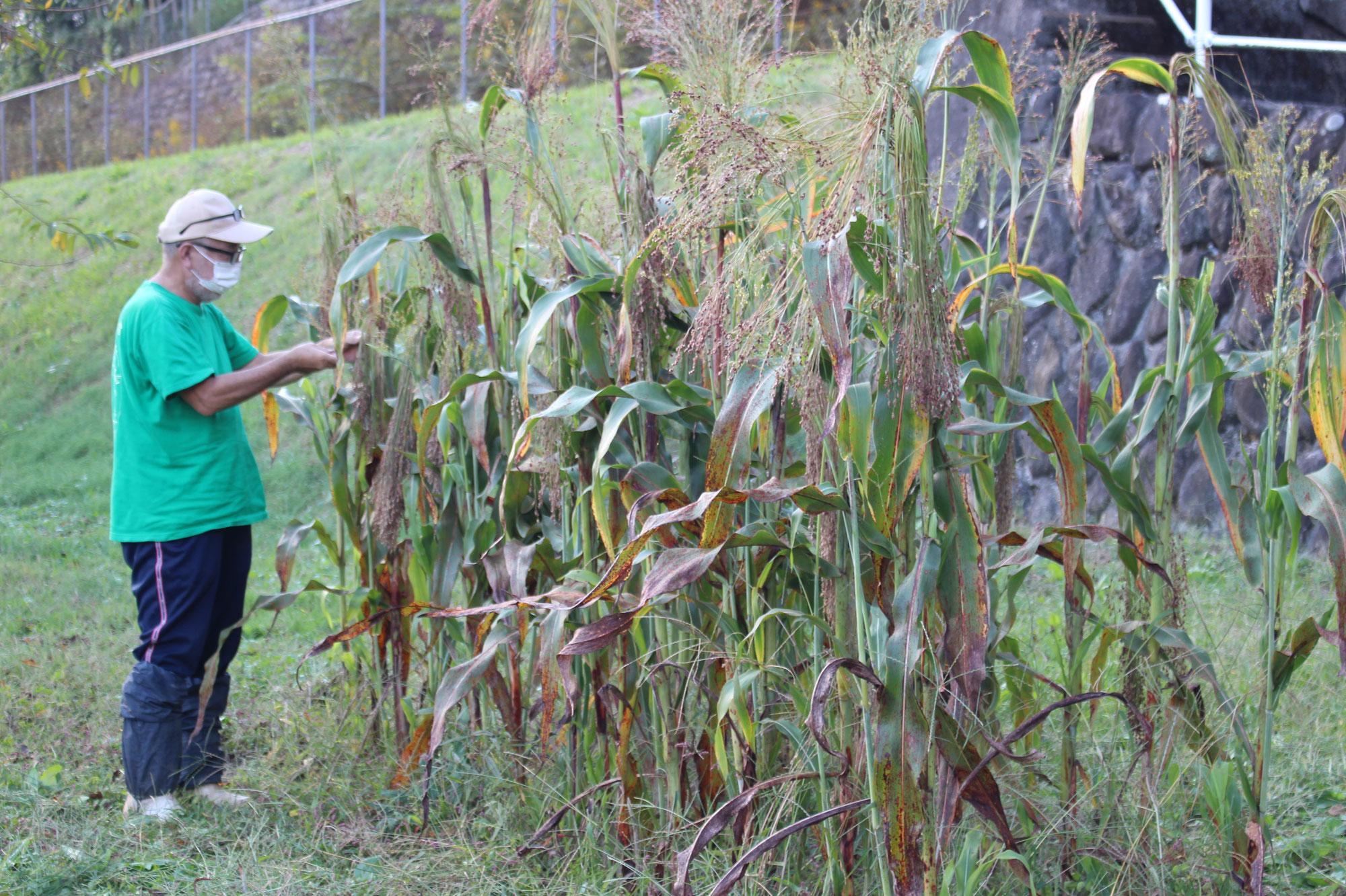 高粱コーリャン畑 収穫
