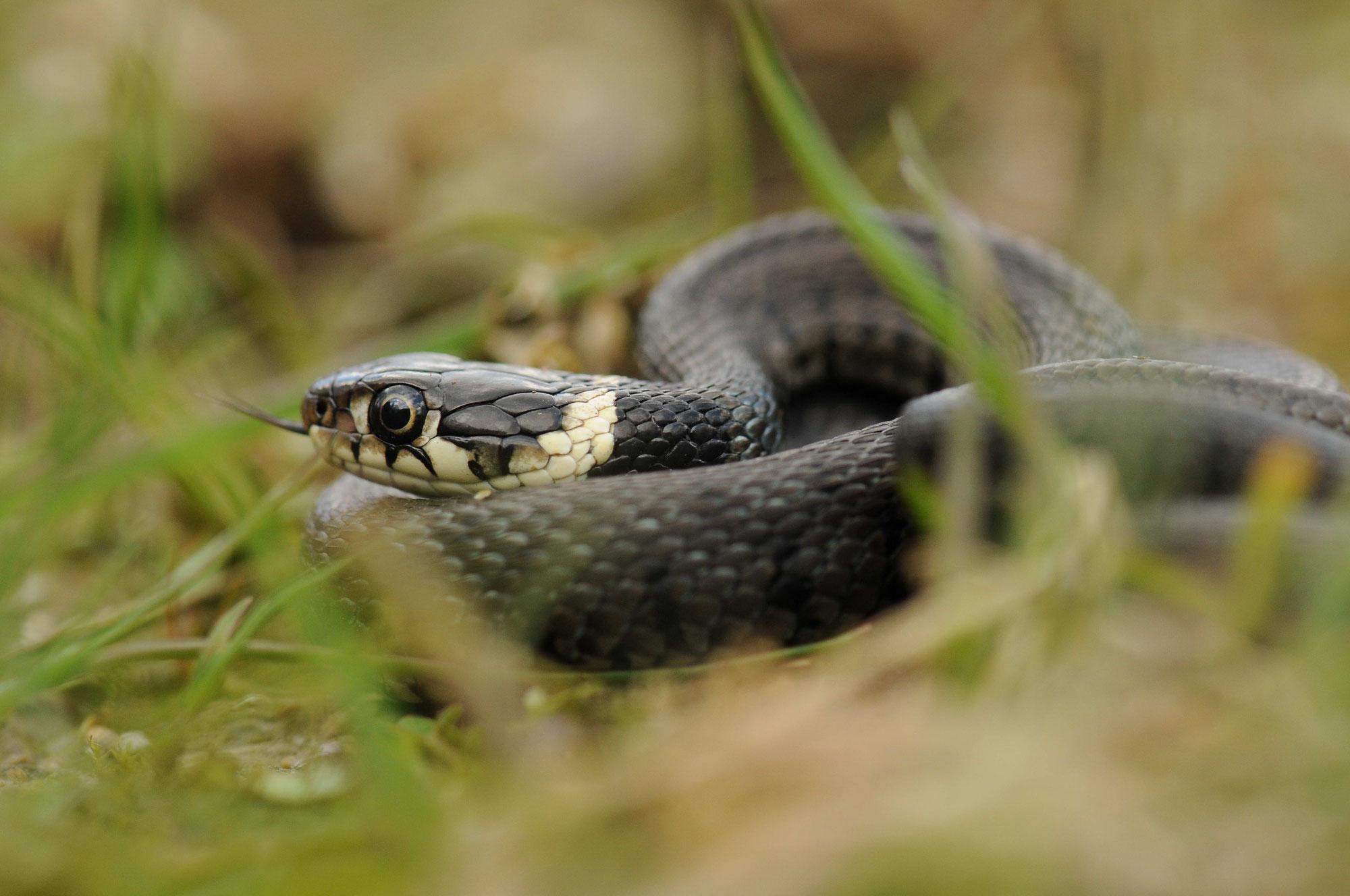 Schlangen in Dormagen