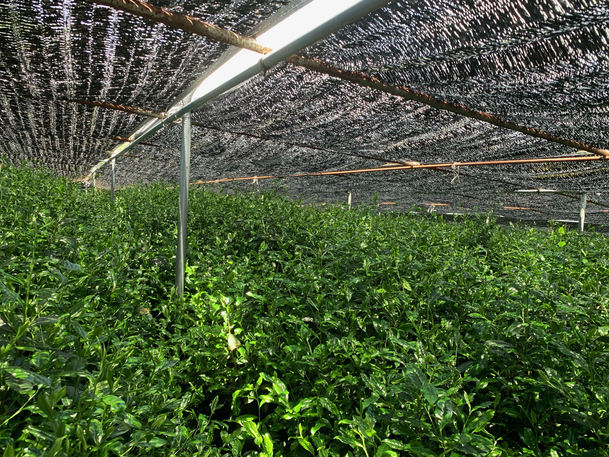 一番茶摘採