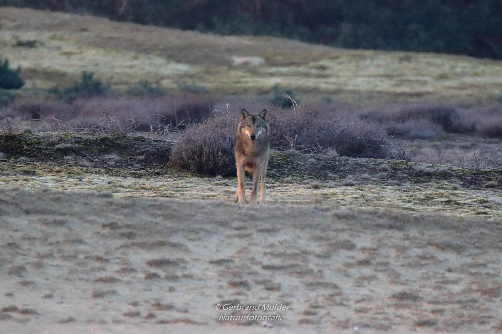 Wekeromse zand  -  wolf