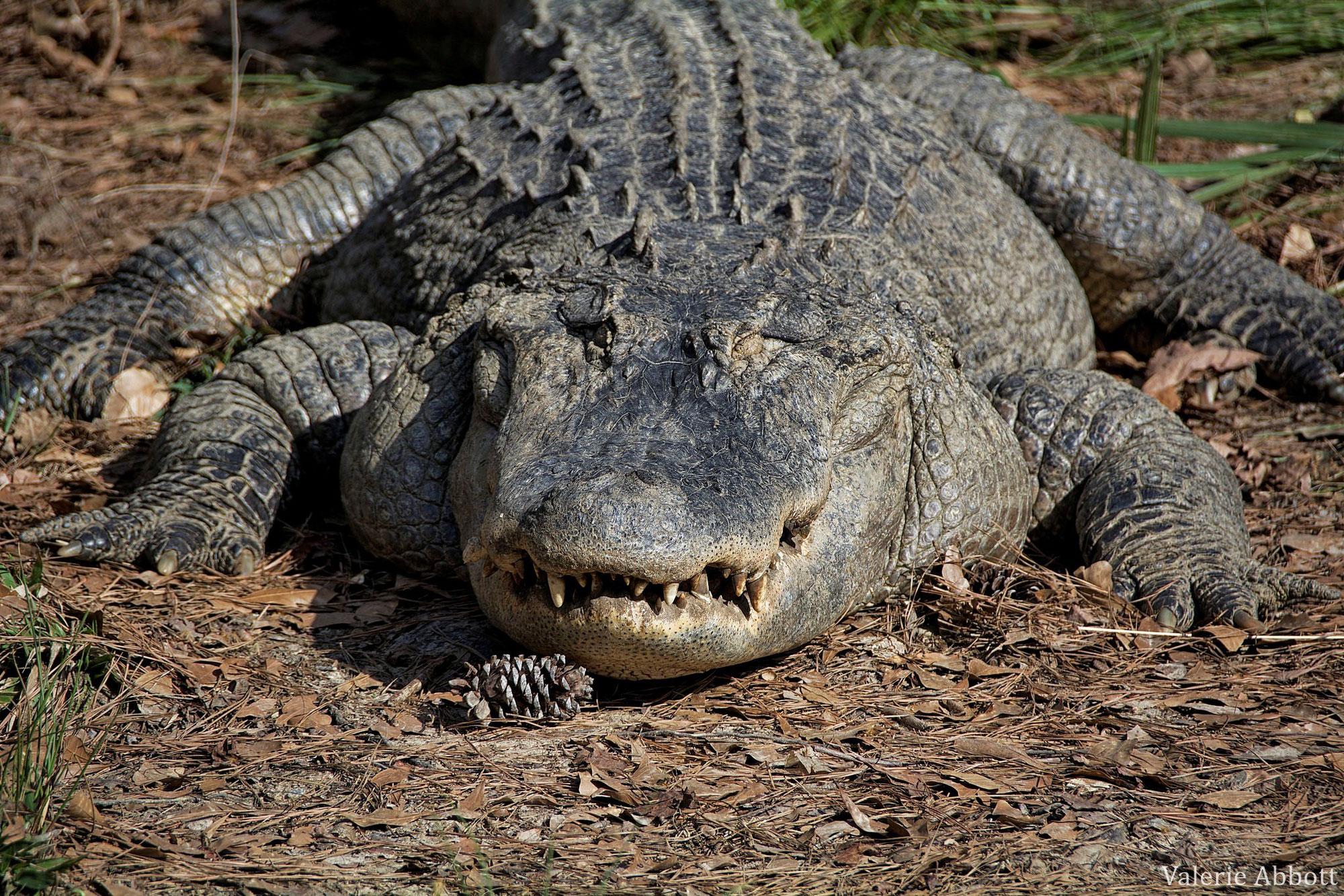 Savez vous reconnaître l'alligator d'Amérique ?