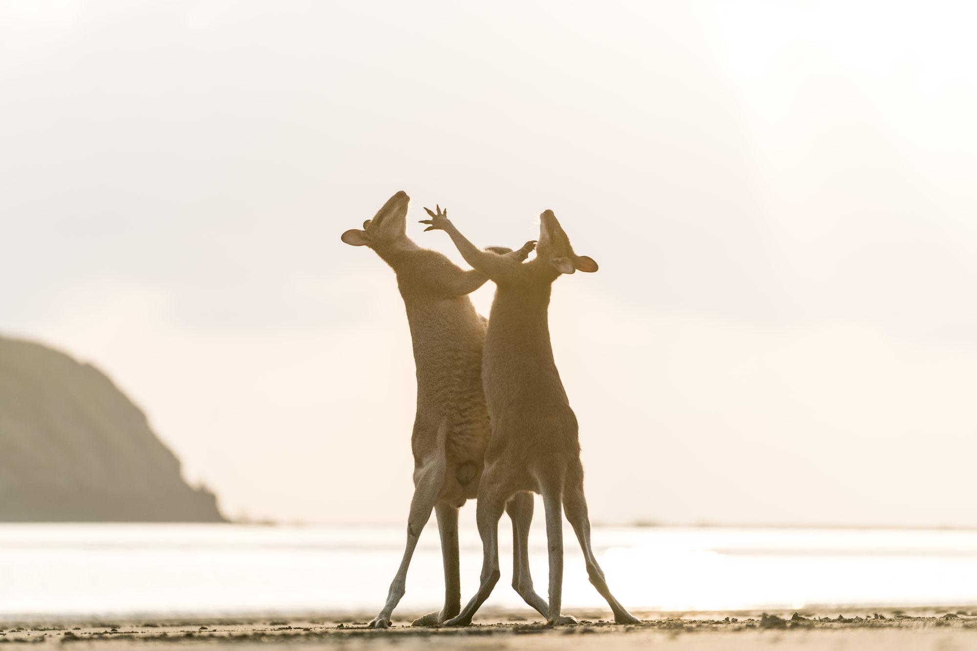 Sunrise with kangaroos and wallabies at Cape Hillsborough