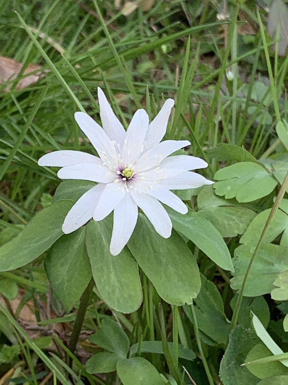 ベーテル花ブログ 17 春一番番外1 −一輪草−