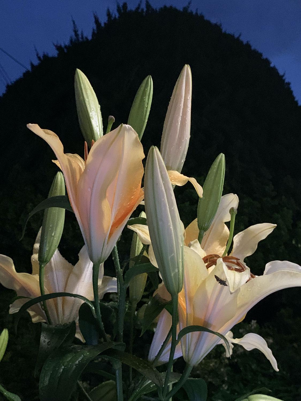 ベーテル花ブログ 38 百合の花、その名はみんな、「カノコ」