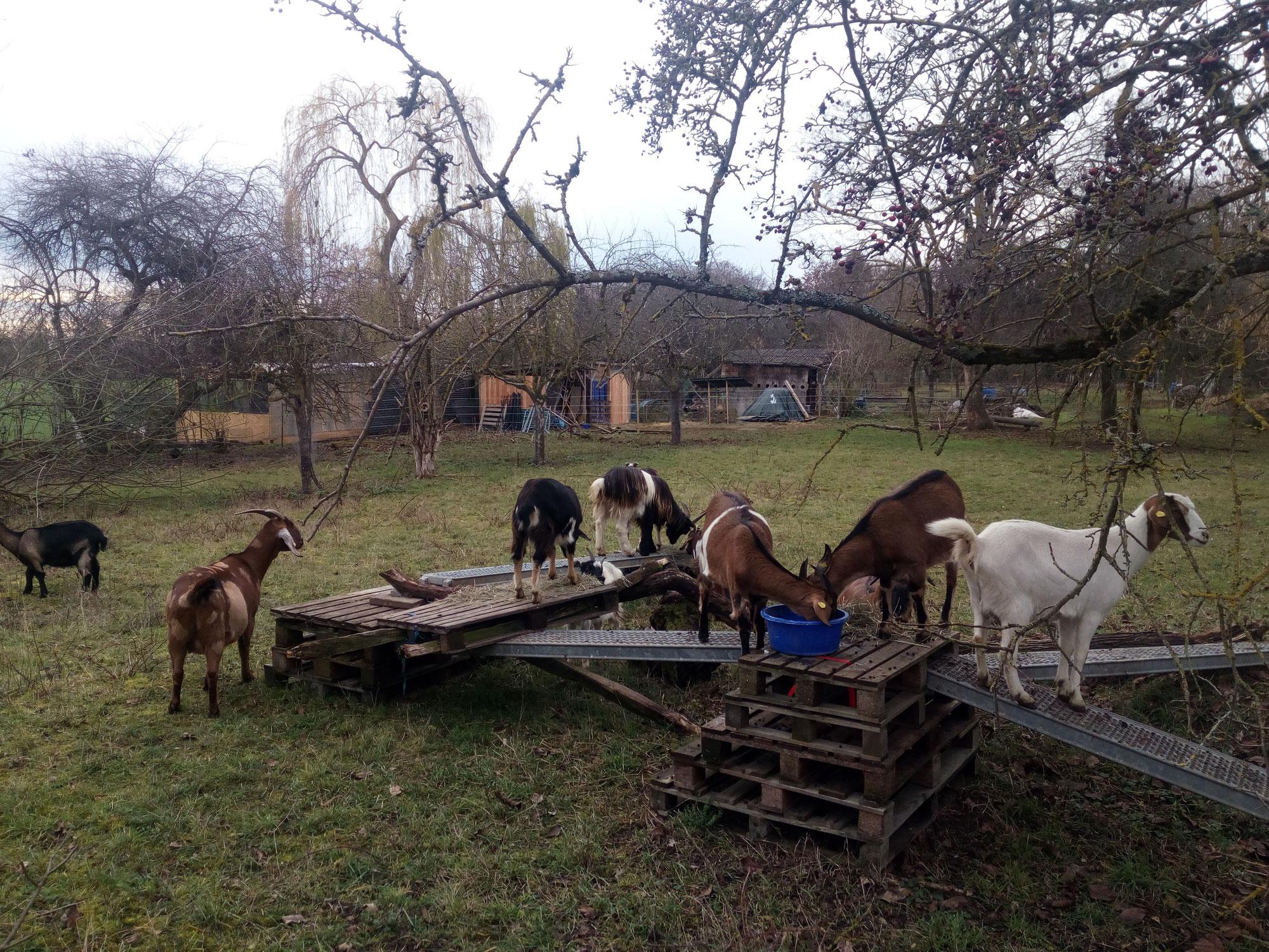 Die Herde ist in Kirchheim angekommen