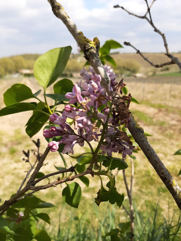 Le lilas le parfum du printemps