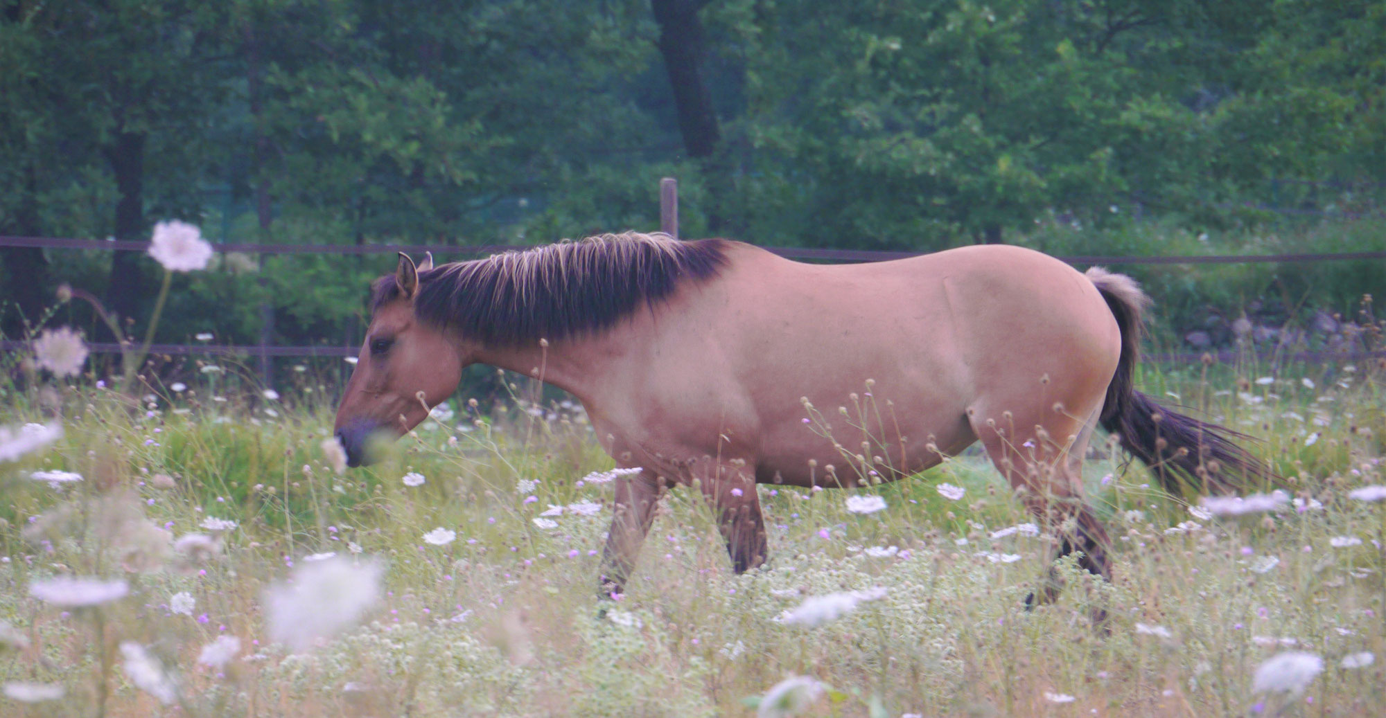 The great adventure of a wild mustang named Ojai
