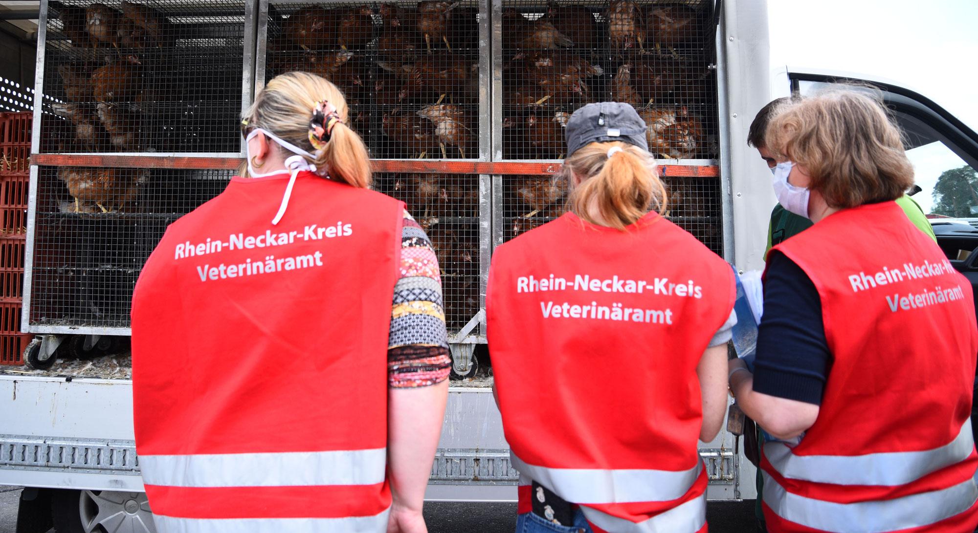 Veterinäramt und Verbraucherschutz: Geflügelpest ist nun auch in Baden-Württemberg angekommen