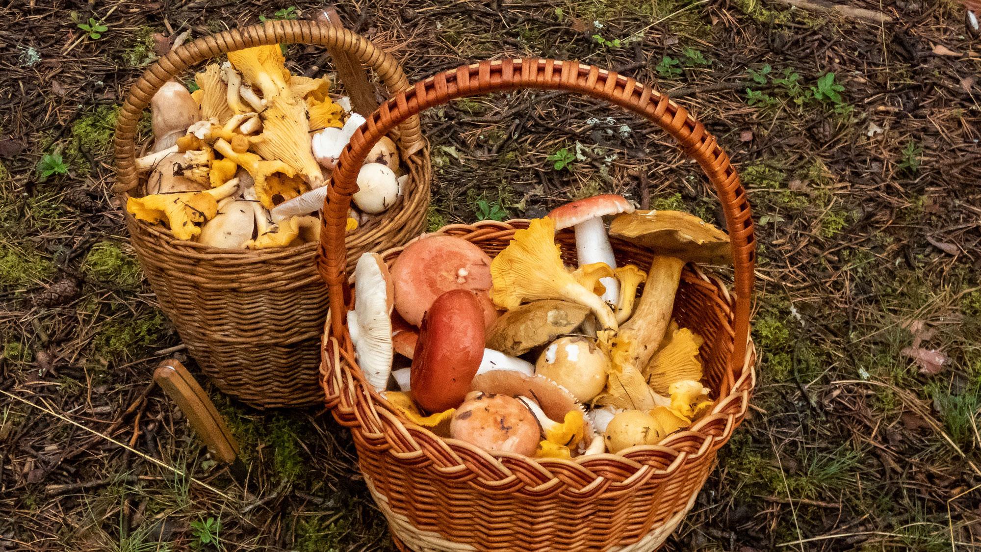 Ein Wochenende zum Pilzesammeln, ideales Wetter lädt in Wald und Flur ein