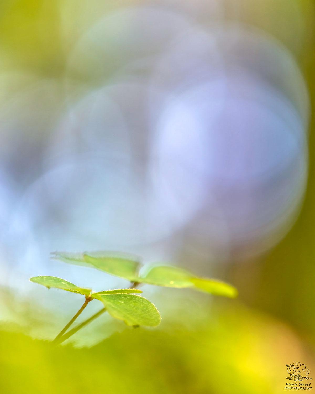 Kleeblätter im Wald ...