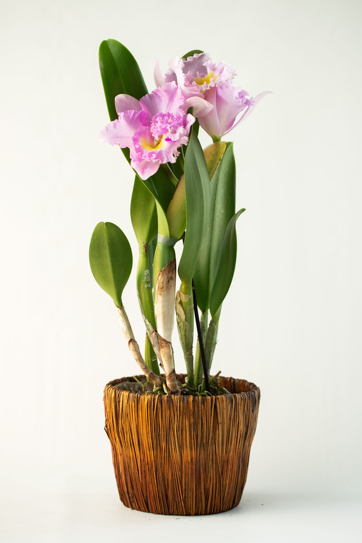 Vos orchidées pour la Saint Valentin