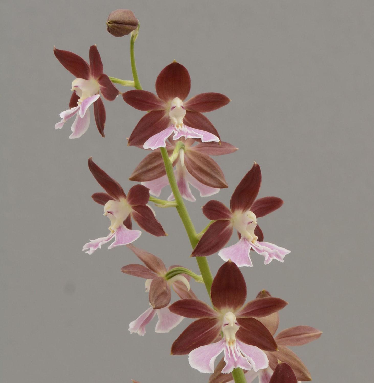 Les orchidées de jardins sont en fleurs