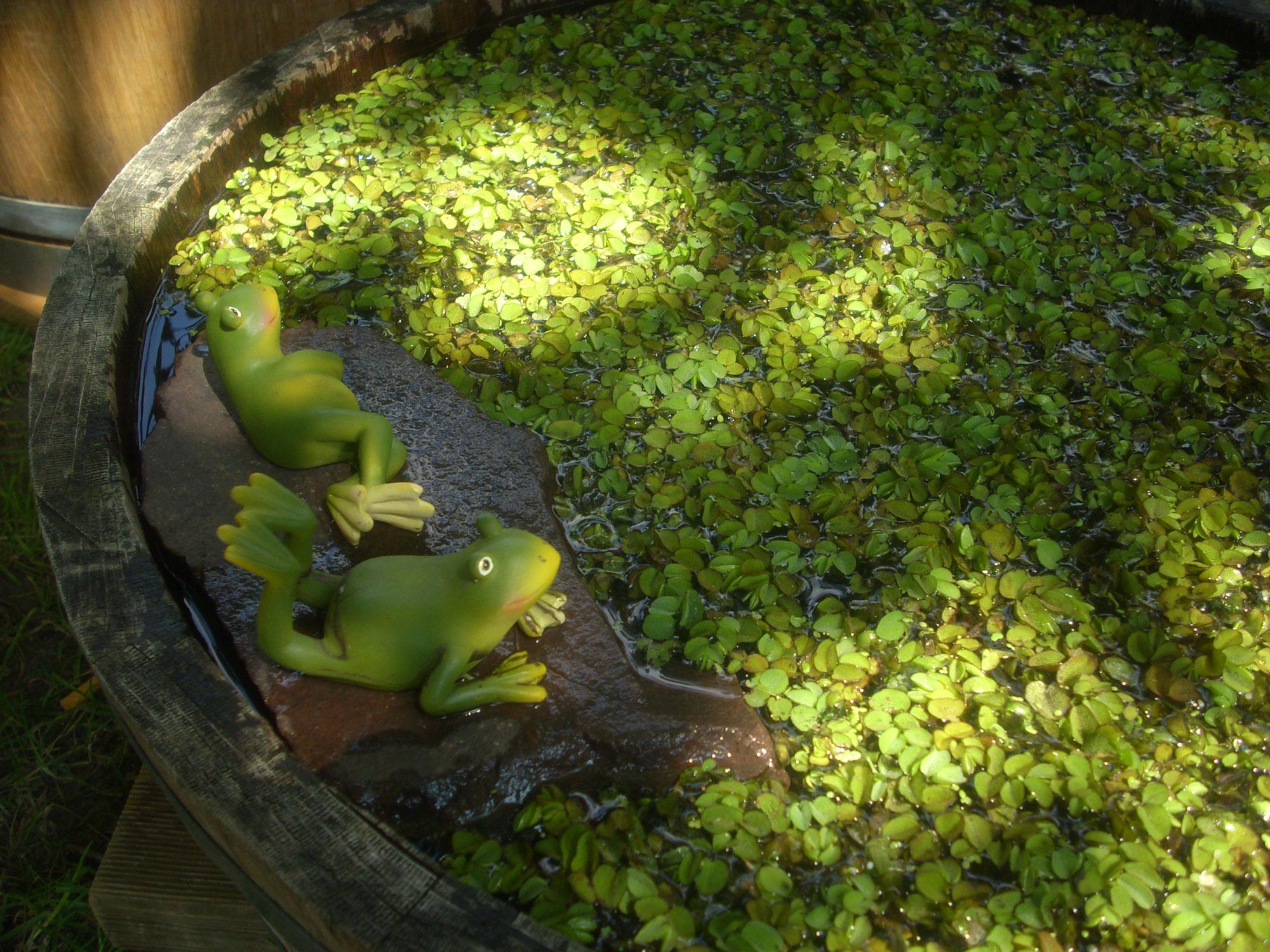 Tipps Für Den Miniteich Water Plant