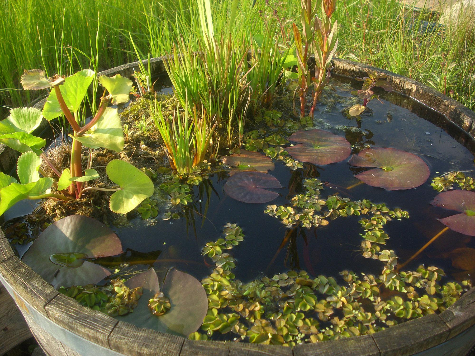 miniteiche anlegen - water-plant