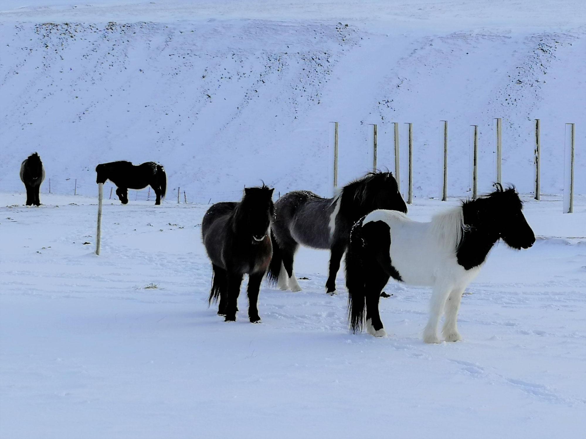 Die sieben Fohlen (Norwegen)