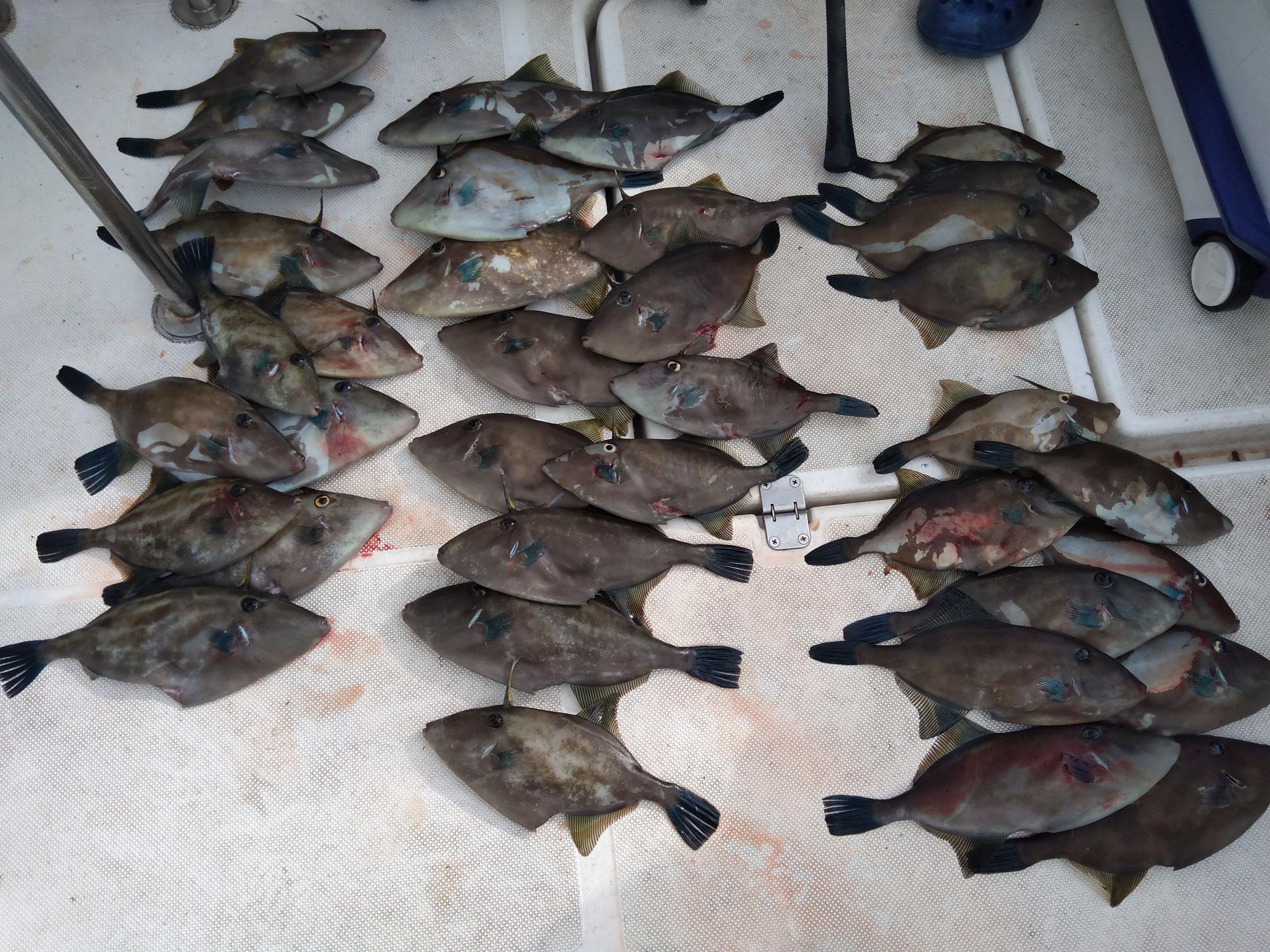 ウマヅラハギ大漁