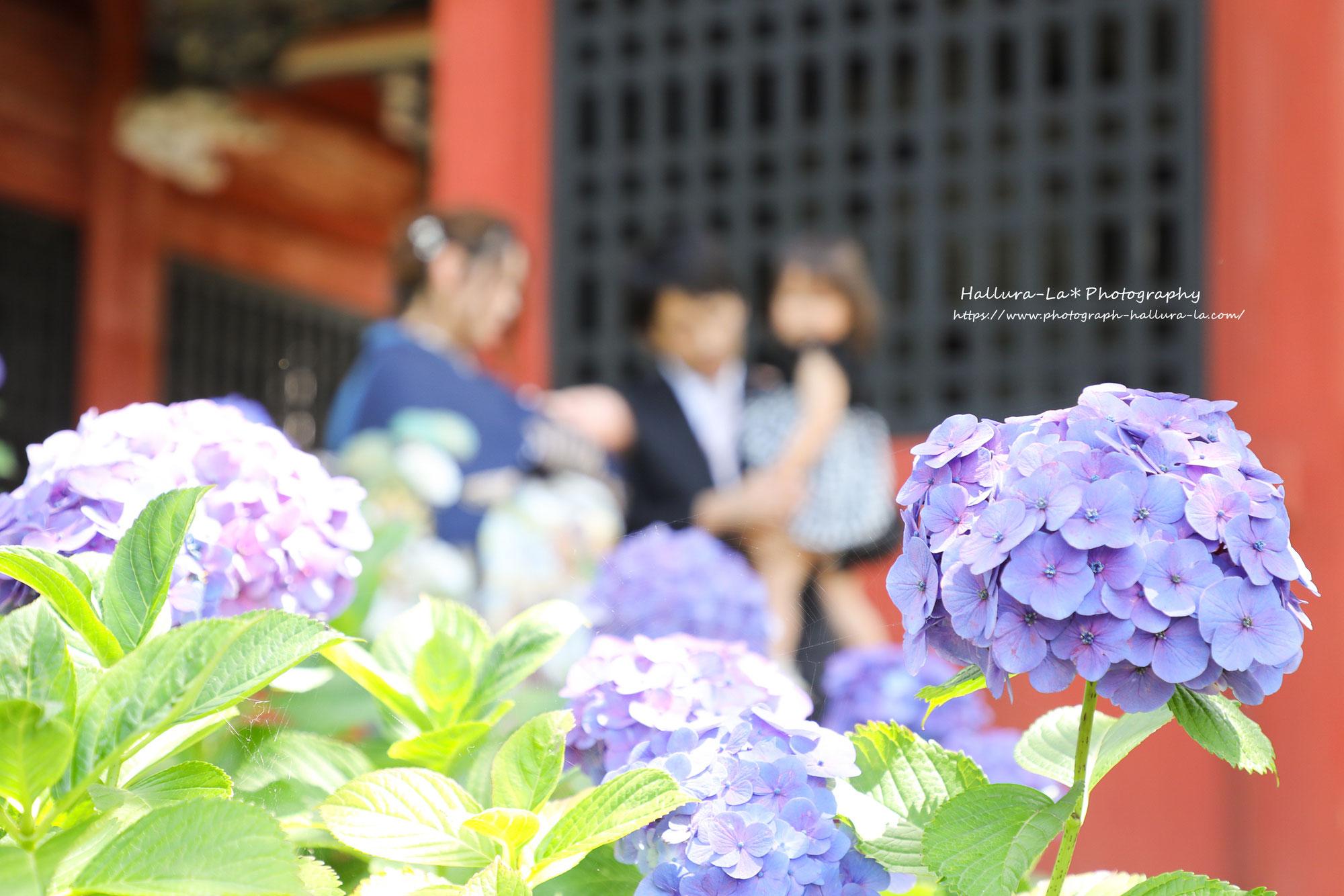 紫陽花が見ごろな雨引観音にてお宮参り撮影