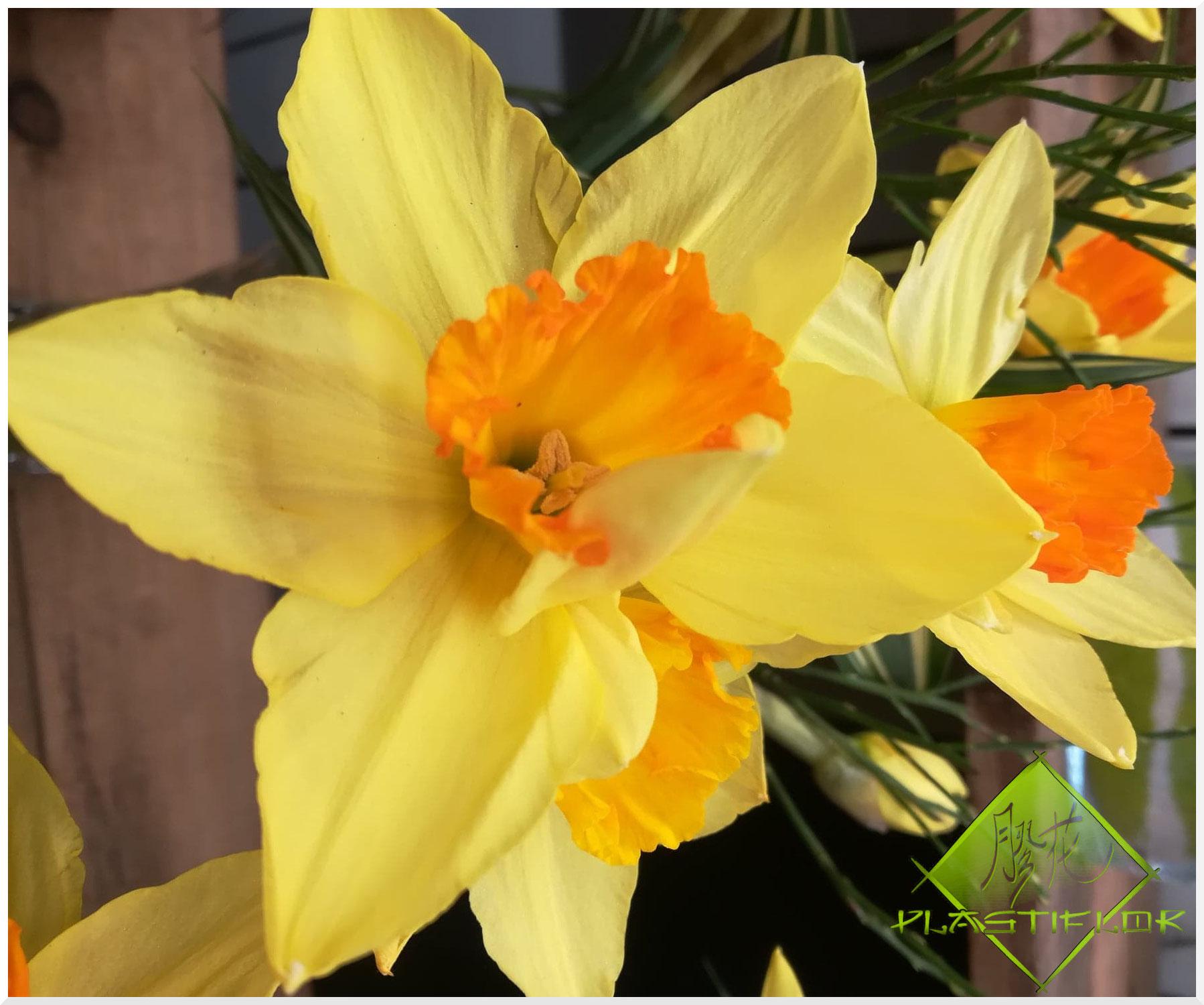 La jonquille, cette fleur annonciatrice du printemps