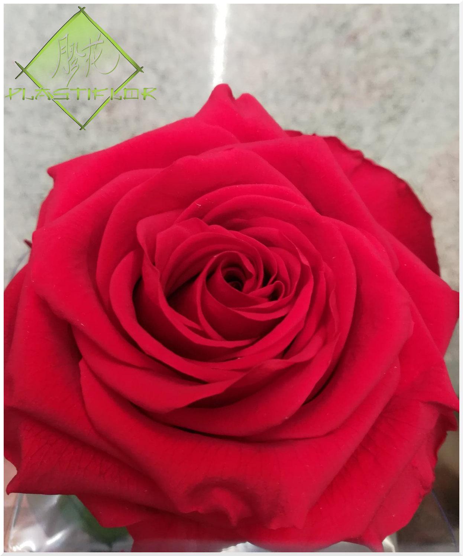 La rose, symbole de la Saint-Valentin