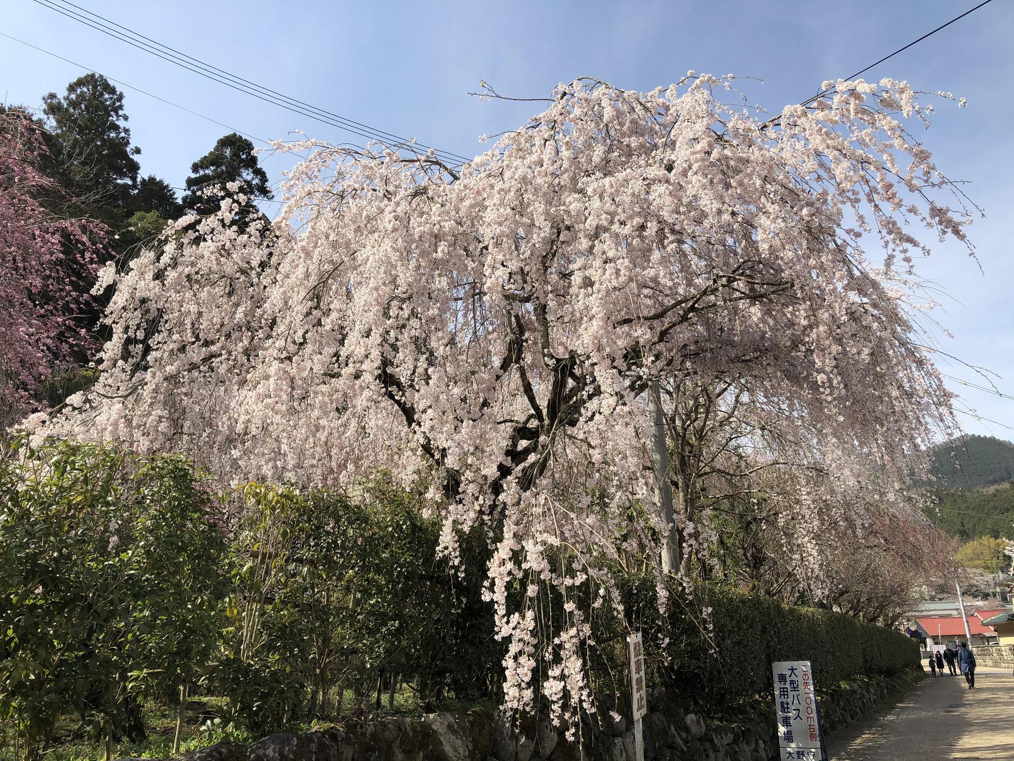 桜・桜・桜(宇陀市、桜情報最前線)