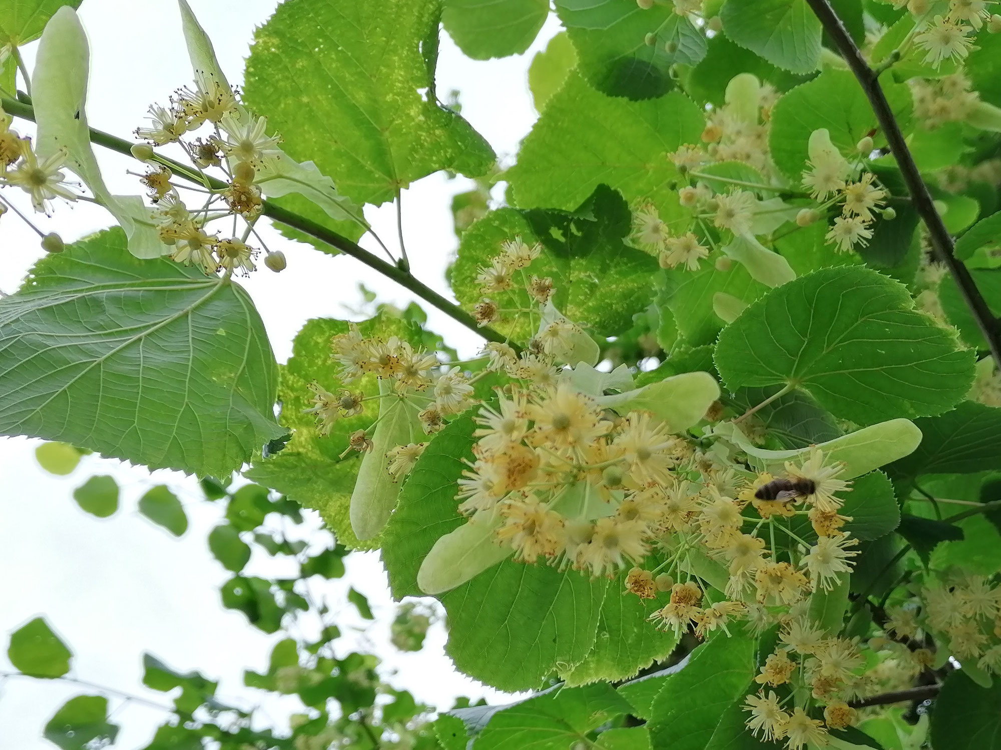 Les tilleuls en fleurs; L'Abeille Noire