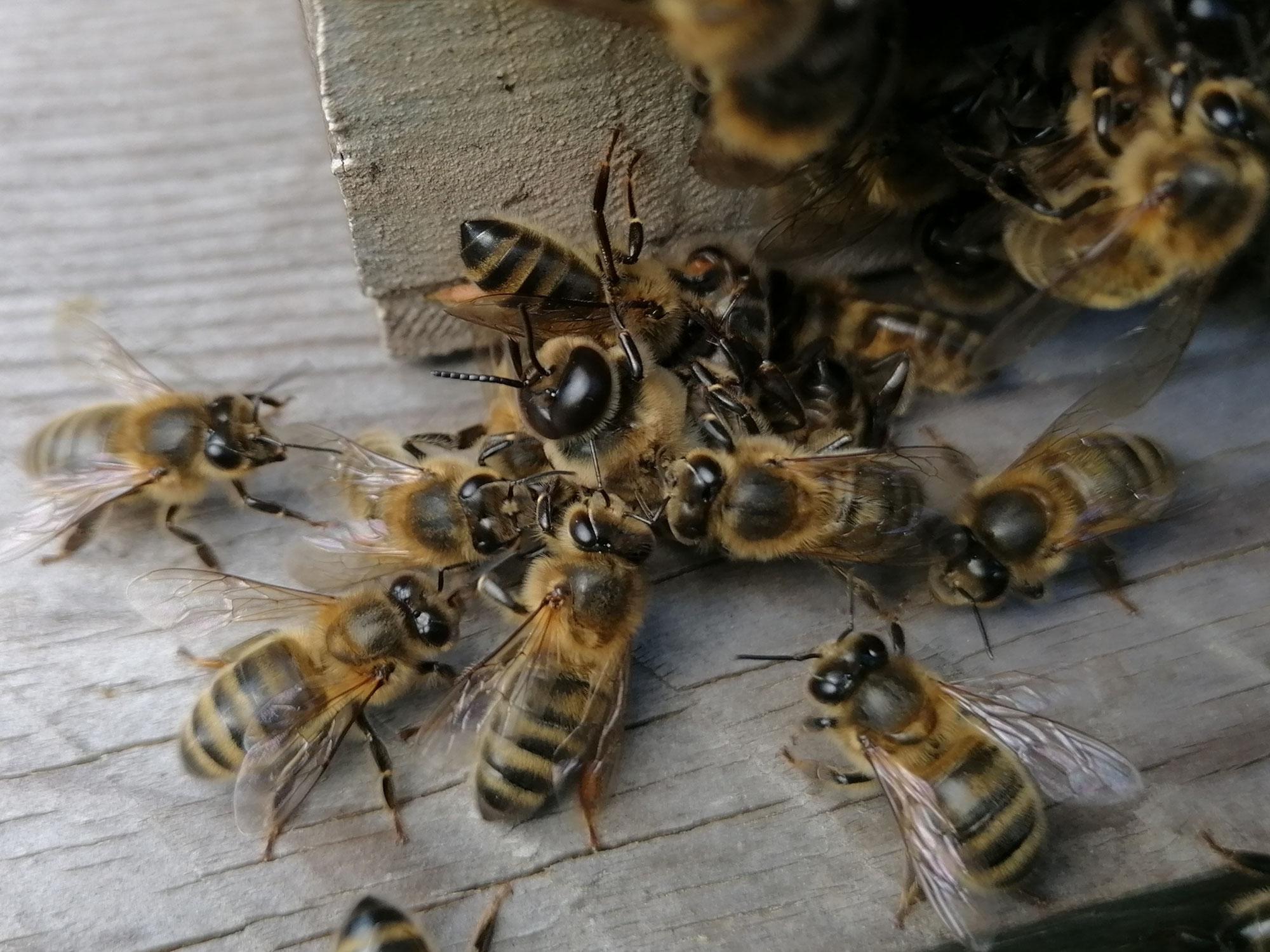 Le massacre des faux-bourdons; L'abeille Noire